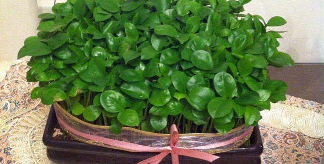 آموزش سبزه انداختن با هسته پرتقال برای نوروز ۹۶ + عکس