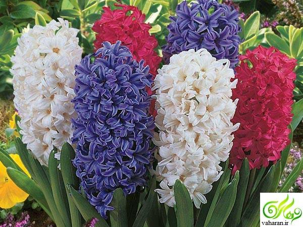 آموزش نگهداری و پرورش گل سنبل و گل لاله
