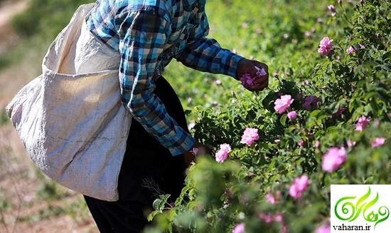 گزارش تصویری: فصل گلاب گیری در کاشان خرداد 96